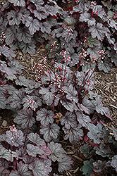 Carnival Rose Granita Coral Bells (Heuchera 'Rose Granita') at Roger's Gardens