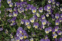 Halo Sky Blue Pansy (Viola cornuta 'Halo Sky Blue') at Roger's Gardens