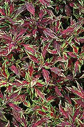 Marquee Red Carpet Coleus (Solenostemon scutellarioides 'Balmarqared') at Roger's Gardens