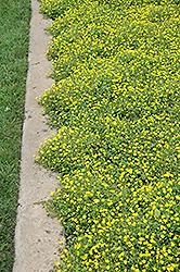 Magic Carpet Yellow Mecardonia (Mecardonia 'Magic Carpet Yellow') at Roger's Gardens
