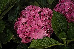Red Sensation Hydrangea (Hydrangea macrophylla 'Red Sensation') at Roger's Gardens