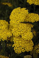 Desert Eve Yellow Yarrow (Achillea millefolium 'Desert Eve Yellow') at Roger's Gardens