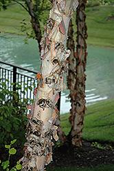 River Birch (Betula nigra) at Roger's Gardens