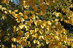 Paper Birch (Betula papyrifera) at Roger's Gardens