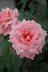 Sexy Rexy Rose (Rosa 'Sexy Rexy') at Roger's Gardens