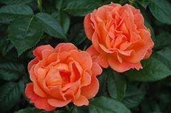 Livin' Easy Rose (Rosa 'HARwelcome') at Roger's Gardens