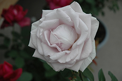 Stainless Steel Rose (Rosa 'WEKblusi') at Roger's Gardens
