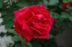Crimson Glory Rose (Rosa 'Crimson Glory') at Roger's Gardens