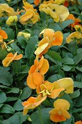 Matrix Orange Pansy (Viola 'PAS491790') at Roger's Gardens