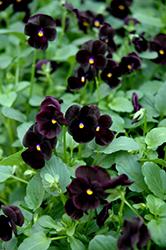 Sorbet Black Delight Pansy (Viola 'Sorbet Black Delight') at Roger's Gardens