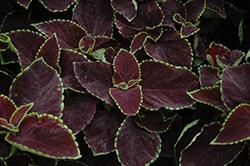 Premium Sun Chocolate Mint Coleus (Solenostemon scutellarioides 'Chocolate Mint') at Roger's Gardens