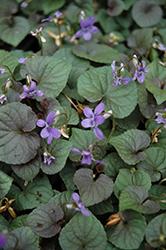 Wood Violet (Viola odorata) at Roger's Gardens