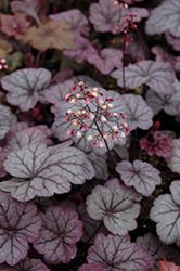 Sugar Plum Coral Bells (Heuchera 'Sugar Plum') at Roger's Gardens