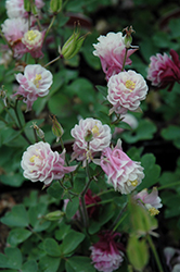 Winky Double Rose And White Columbine (Aquilegia 'Winky Double Rose And White') at Roger's Gardens