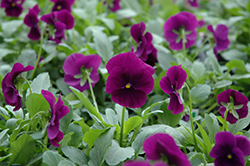 Cool Wave Purple Pansy (Viola x wittrockiana 'PAS1077343') at Roger's Gardens