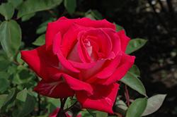 Love Rose (Rosa 'Love') at Roger's Gardens