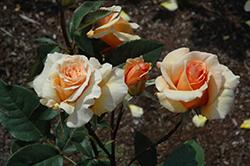 Brandy Rose (Rosa 'Brandy') at Roger's Gardens