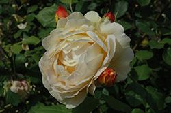 Golden Celebration Rose (Rosa 'Golden Celebration') at Roger's Gardens