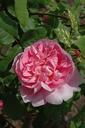 Cottage Rose (Rosa 'Cottage') at Roger's Gardens
