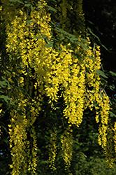 Weeping Laburnum (Laburnum x watereri 'Pendulum') at Roger's Gardens