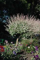 Tricolor Willow (tree form) (Salix integra 'Hakuro Nishiki (tree form)') at Roger's Gardens