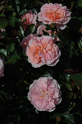 Apricot Drift Rose (Rosa 'Meimirrote') at Roger's Gardens