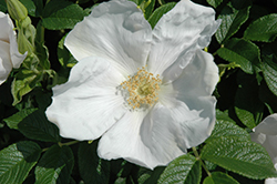 White Rugosa Rose (Rosa rugosa 'Alba') at Roger's Gardens