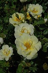 Lemon Drift Rose (Rosa 'Meisentmil') at Roger's Gardens