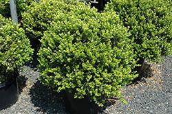 Green Beauty Boxwood (globe form) (Buxus 'Green Beauty (globe)') at Roger's Gardens