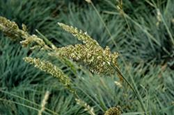 Blue Hair Grass (Koeleria glauca) at Roger's Gardens