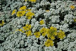 Cape Blanco Stonecrop (Sedum spathulifolium 'Cape Blanco') at Roger's Gardens
