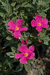 Sunset Magenta Rockrose (Cistus 'Sunset') at Roger's Gardens