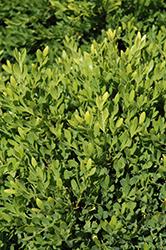 Faulkner Boxwood (Buxus microphylla 'Faulkner') at Roger's Gardens