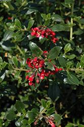 Red Elf Escallonia (Escallonia rubra 'Red Elf') at Roger's Gardens