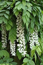 Texas White Wisteria (Wisteria sinensis 'Texas White') at Roger's Gardens