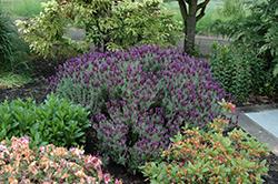 Anouk Supreme Spanish Lavender (Lavandula stoechas 'Anouk Supreme') at Roger's Gardens