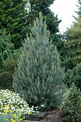 Singleleaf Pinyon Pine (Pinus monophylla) at Roger's Gardens