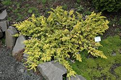 All Gold Shore Juniper (Juniperus conferta 'All Gold') at Roger's Gardens