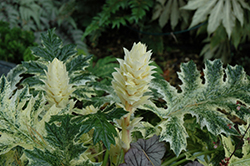 Whitewater Acanthus (Acanthus 'Whitewater') at Roger's Gardens