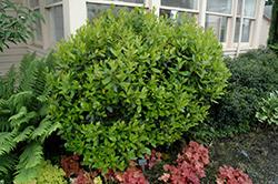 Dwarf Strawberry Tree (Arbutus unedo 'Compacta') at Roger's Gardens
