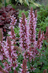 Cotton Candy Hyssop (Agastache 'Cotton Candy') at Roger's Gardens