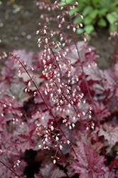 Amethyst Mist Coral Bells (Heuchera 'Amethyst Mist') at Roger's Gardens