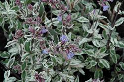 Silver Sabre Sage (Salvia officinalis 'Silver Sabre') at Roger's Gardens