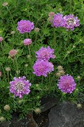 Vivid Violet Pincushion Flower (Scabiosa 'Vivid Violet') at Roger's Gardens