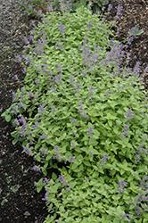 Limelight Catmint (Nepeta x faassenii 'Limelight') at Roger's Gardens