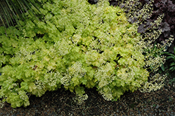 Lime Ruffles Coral Bells (Heuchera 'Lime Ruffles') at Roger's Gardens