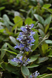 Blueberry Muffin Bugleweed (Ajuga reptans 'Blueberry Muffin') at Roger's Gardens