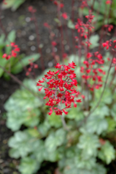 Lipstick Coral Bells (Heuchera 'Lipstick') at Roger's Gardens