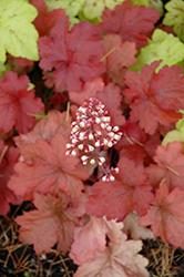 Fire Alarm Coral Bells (Heuchera 'Fire Alarm') at Roger's Gardens