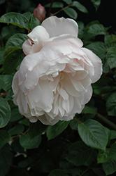 The Generous Gardener Rose (Rosa 'Ausdrawn') at Roger's Gardens